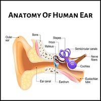 Anatomy Of Human Ear