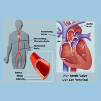 Aorta - The Largest Artery In Human Body