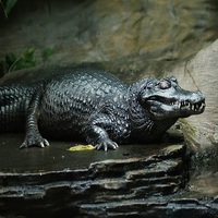The Black Caiman